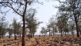 Mature Masangu trees enhance the soil on Zambian farms
