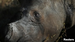 A tranquillised rhino is seen after dehorning, amid mounting fears of a rebound in rhino poaching, as the coronavirus disease (COVID-19) travel restrictions ease, at the Balule Nature Reserve in Hoedspruit, Limpopo province, South Africa April 26, 2021.