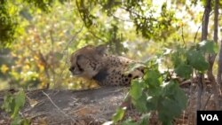 Tiga cheetah menghabiskan masa tiga minggu pertamanya di sebuah kandang sebelum dilepaskan ke Taman Nasional Liwonde di Malawi.