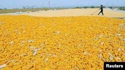 Seorang petani mengeringkan jagung di ladangnya di desa Zhuliang, Qingzhou, provinsi Shandong, China, September 2013.