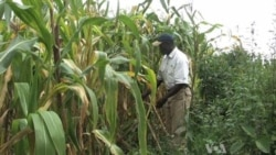 Mystery Maize Disease Strikes Kenya Farms