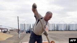 Пшеница Казахстана