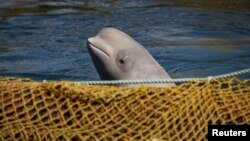 Kit u kavezu u Japanskom moru