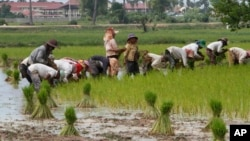 FILE - Farmers plant rice in Samroang Teav village on the outskirts of Phnom Penh, Cambodia, Aug. 23, 2015. Cambodians are expecting a 'seamless transition' when the ASEAN Economic Community (AEC) is launched in two months and hopefully heralds a second investment wave, capable of transforming this country's pool of unskilled labor into a manufacturing hub.