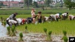 Nông dân trồng lúa trong làng Samroang Teav ở ngoại ô Phnom Penh, Campuchia, ngày 23/8/2015.