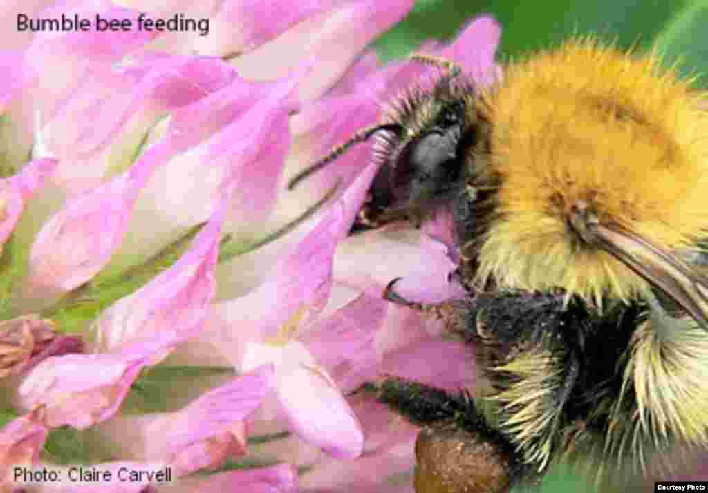 Certain bumble bee species and some solitary bee species are increasingly being domesticated and managed by humans to provide pollination services for agricultural crops like apples or strawberries. (Photo: Claire Carvell)