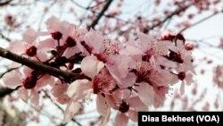 美国首都华盛顿的樱花