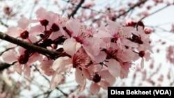 2016年3月17日率先盛开的华盛顿樱花