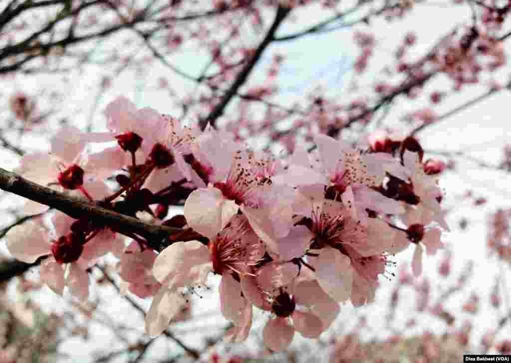 A cherry blossom in Washington, D.C. (Photo: Diaa Bekheet)