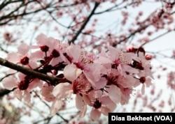 A cherry blossom in Washington, D.C.
