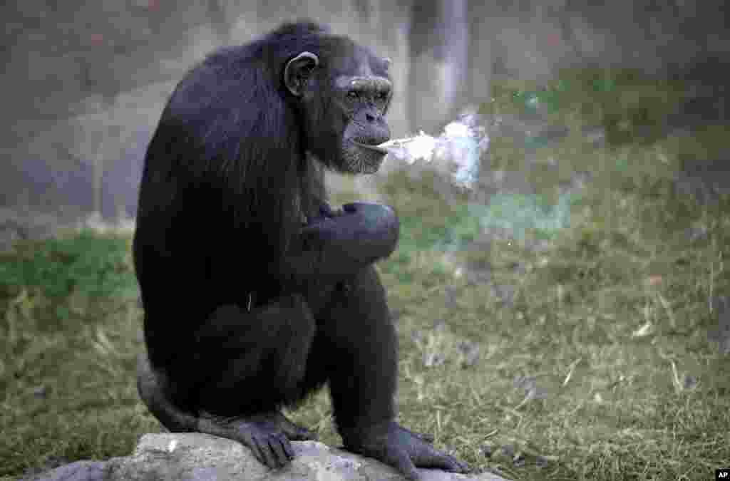 "Azalea, a 19-year-old female chimpanzee whose Korean name is ""Dallae,"" smokes a cigarette at the Central Zoo in Pyongyang, North Korea."
