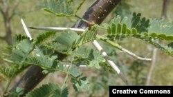 Cây mesquite, một thứ cây thuộc họ đậu thường mọc ở những nơi nóng và khô