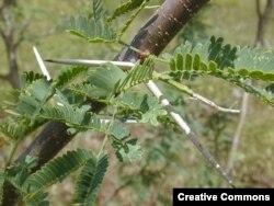 Untuk menembus tanaman ini merupakan tantangan sendiri karena duri sepanjang 10 cm yang tumbuh di seluruh batangnya