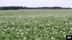 Plantação de batata na província da Huíla (Arquivo)