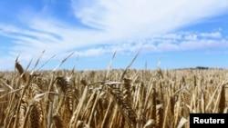 澳大利亞新南威爾士州一處大麥種植場(路透社2020年10月27日)
