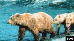 Otra sorpresa fue que los osos, al igual que las personas somnolientas por la mañana, son lentos para recuperarse de la hibernación.