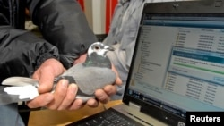 In this 2009 file photo, Winston, a carrier pigeon, is held in front of a laptop computer which is downloading data from a memory card in Durban, South Africa. A South African information technology company proved it was faster for them to transmit data with Winston the pigeon than to send it using Telkom, the country's leading internet service provider.