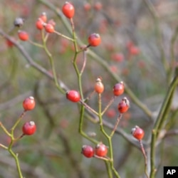 Rose hips are sweet and high in vitamin C.