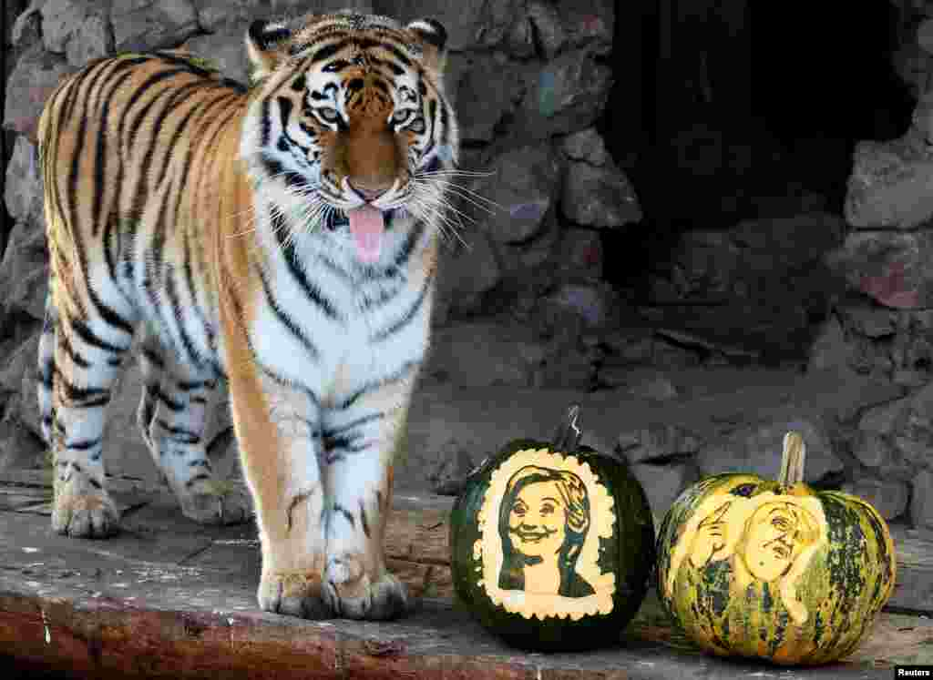 Yunona, a four-year-old female Amur tiger, stands near pumpkins with faces of U.S. presidential nominees Hillary Clinton and Donald Trump as it predicts the result of U.S. presidential election, at the Royev Ruchey zoo in Krasnoyarsk, Siberia, Russia.