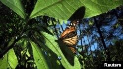 Estas mariposas de color negro y anaranjado se encuentran en todo el territorio estadounidense y en algunas zonas de México y Canadá.
