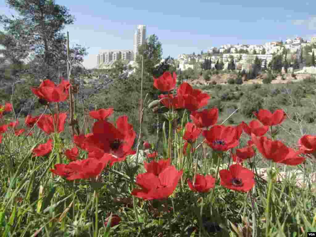 Poppies at Gazelle Valley Park, Jerusalem, April 8, 2015. (Uri Shamir)