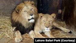 لاہور زو سفاری کے ڈپٹی ڈائریکٹر کے مطابق شیروں کو محکمہ خزانہ کی طرف سے مقرر کردہ نرخ ڈیڑھ لاکھ روپے فی شیر کے حساب سے فروخت کیا گیا ہے۔