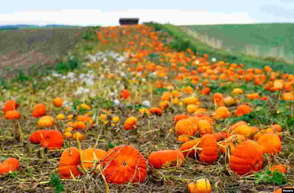 Pumpkins are pictured in a field on an autumn morning in Oulens-sous-Echallens, Switzerland.
