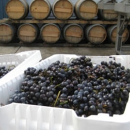 Newly harvested grapes. Barrels are in the background