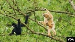 Siamang berpipi putih ini merupakan salah satu jenis primata langka yang terdapat di Taman Margasatwa Pu Mat di Propinsi Nghe An, Vietnam