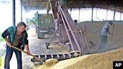 俄罗斯农民在收获粮食 (资料照片)