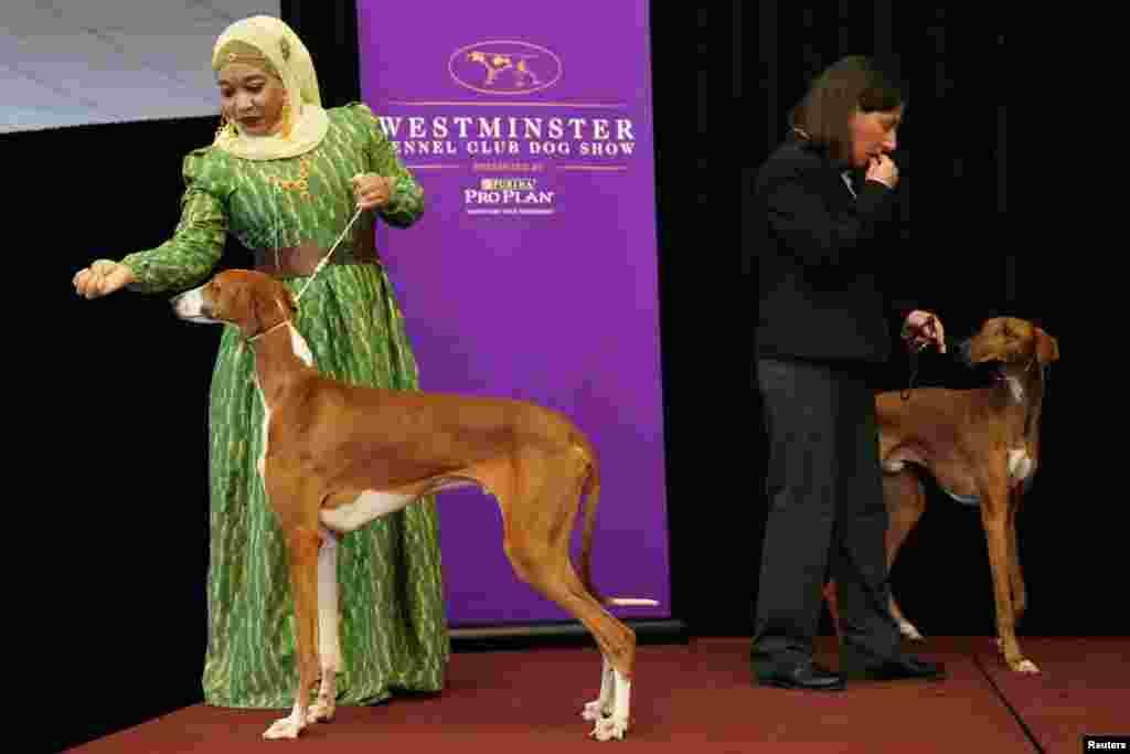 'ایزاواک' نسل کے کتوں کی جوڑی شو میں بہت سے افراد کی دلچسپی کا سبب تھی۔ جسے پہلی مرتبہ شو میں مقابلے کی اجازت ملی۔
