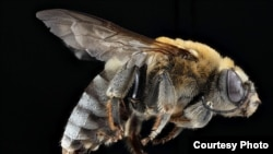 USGS Native Bee Photos