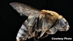 USGS Native Bee Photos