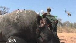 В Африке уничтожены последние черные носороги