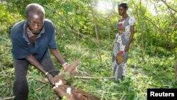 Un agriculteur ivoirien présente du manioc de sa plantation à Yamoussoukro, Côte d'Ivoire, juin 2008.