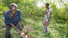 A farmer digs up cassavas in Yamoussoukro, Ivory Coast, June 2008 file photo.