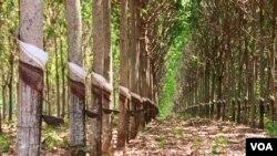 Rubber plantation in Pech Chreada district in Mondulkiri province, Cambodia, March 10th, 2015. (Photo: Nov Povleakhena/VOA Khmer).