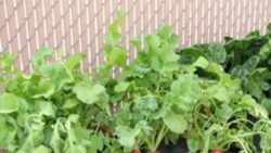 An EarthBox being used to grow radishes
