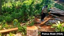 Kayu dari hutan lindung Sendiki di Malang selatan, yang sudah dipotong-potong dan siap diangkut menggunakan sepeda motor. (Foto: VOA/ Petrus Riski)