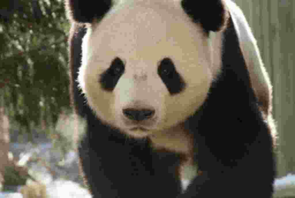 Los pandas gigantes tienen entre dos y tres metros de altura y pueden llegar a cuatro temer 1,8 metros de largo.