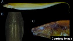 Beberapa jenis ikan elektrik Procerusternarchus pixuna yang baru-baru ini ditemukan. (Foto: University of Massachusetts)