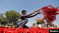 A boy spreads red chillies to dry at a farm on the outskirts of Ahmedabad, India, Feb. 10, 2017.