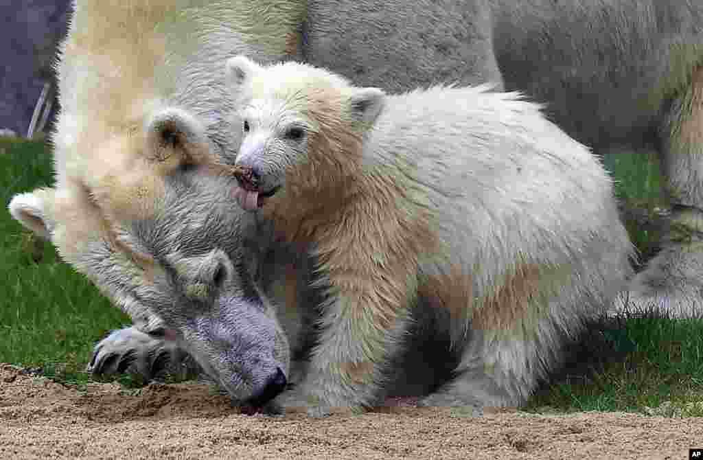 راه افتادن توله خرس قطبی به کمک مادرش در باغ وحشی در آلمان