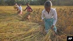 印度妇女在收割稻米(2011年11月资料照)