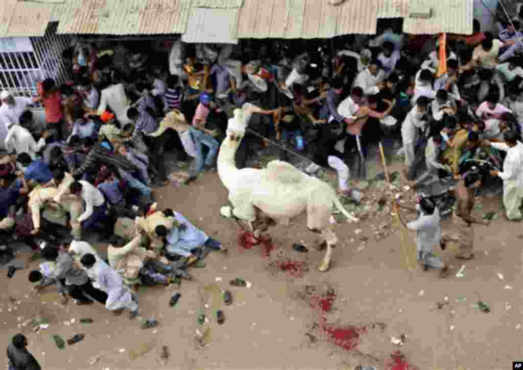 A camel attacks the crowd while being slaughtered by Pakistani butchers on the last day of Eid al-Adha, in Karachi, Pakistan, Wednesday, Nov. 9, 2011. The Eid al-Adha is an important religious holiday celebrated by Muslims worldwide to commemorate the wil