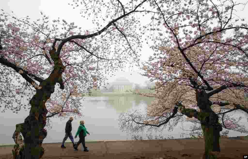 واشنگٹن ڈی سی میں بہار کی آمد کا پتہ دینے والے چیری کے پھول ہر سو رنگ بکھیر رہے ہیں۔