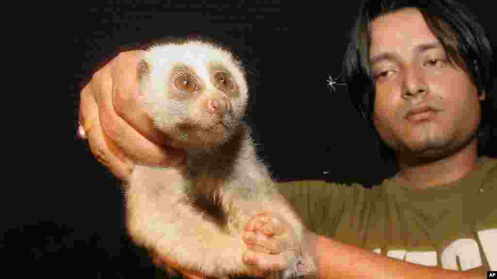 یکی از دوستداران طبیعت، با یک چشمگرد تنبل که از دست روستائیان نجات داده و میخواهد به باغ وحش بسپرد. لوریس یا چشمگرد تنبل – از پستانداران در خطر انقراض – نام خود را از خیزبرداشتنهای آهستهاش گرفته. این جانور ریزاندام و بیدم با چشمان درشت و قیافه دوستداشتنی یکی از حیوانات خانگی محبوب مردم آسیای جنوب شرقی به ویژه در سریلانکاست، اما بعضی آن را برای خوردن شکار میکنند – گوهاتی، هند