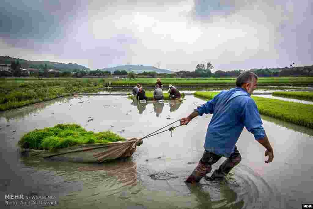 رنج برنج. کشاورزان مشغول کار در روستای کوتنا از توابع قائم شهر در مازندران. عکس: امیر علی رزاقی