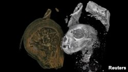 The head of a mummified domestic cat, revealed by X-ray micro CT scanning, is seen in this undated image released on August 20, 2020. (Swansea University/Handout via REUTERS)