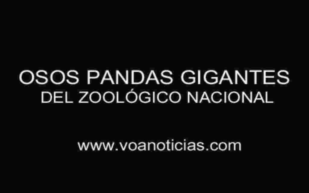 Osos pandas gigantes del Zoológico Nacional